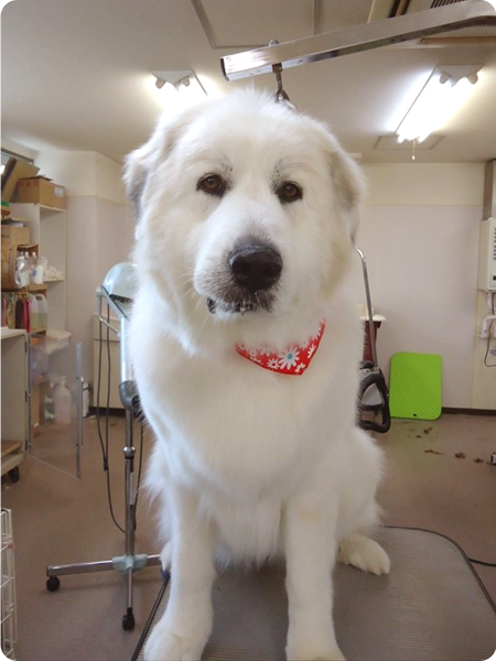 シャンプー&カットコース 大型犬 犬種別料金表